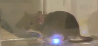 Albers mouse